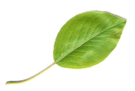 Pear_Leaf